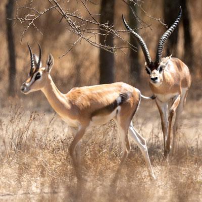 Gazelle de Grant, Gazella granti. Parc national d' Abijatta- Shalla