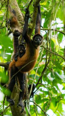 Geoffroy's spider monkey, Ateles geoffroyi