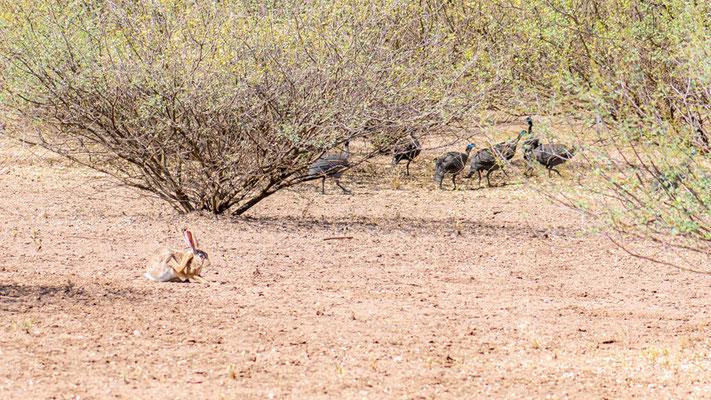 Helmeted Guineafowl, Numida meleagris and Abyssinian hare, Lepus habessinicus. Around Doho lodge