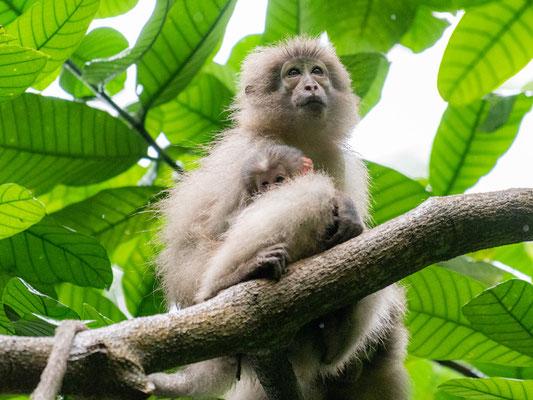 Sanje mangabey, Cercocebus sanjei. L'un des singes endémiques de cette chaine de montagnes, décrite seulement en 1986