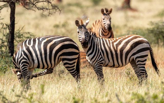 Grant's zebra, Equus quagga boehmi
