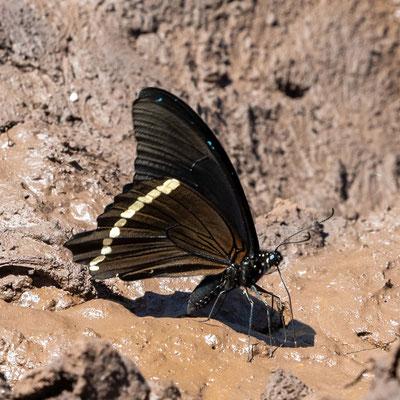 Papillons indéterminés.