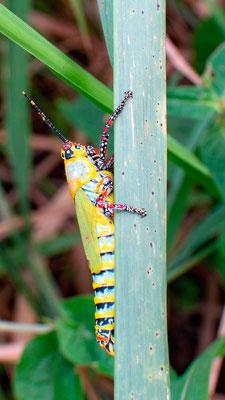 Painted Grasshopper, Zonocerus variegatus