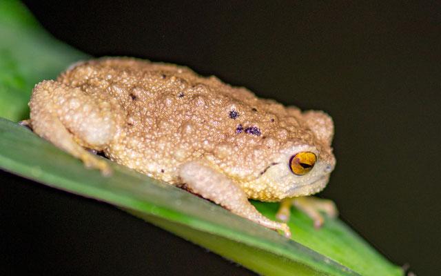 Krefft's secret frog, Callulina kreffti