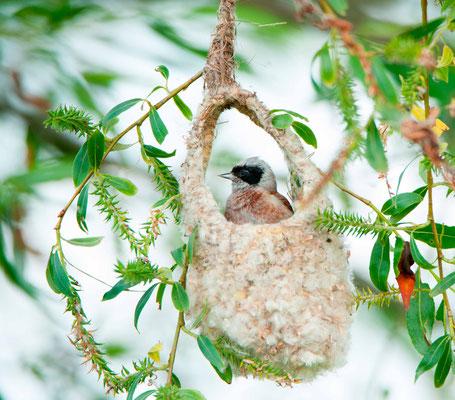 Eurasian Penduline Tit, Remiz pendulinus in the nest