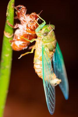 Emerging undefined Hemiptera