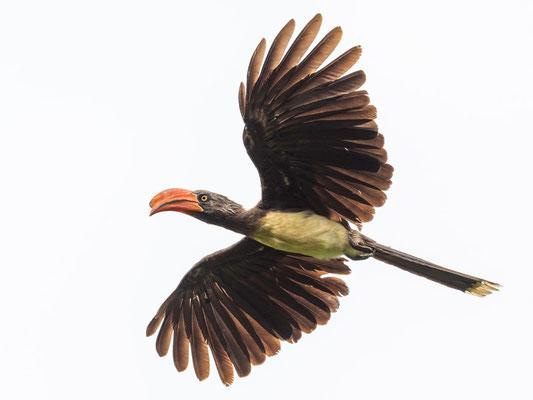Crowned Hornbill, Lophoceros alboterminatus