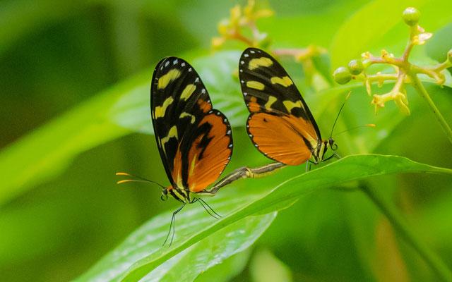 Tiger-striped Longwing, Heliconius ismenius  clarescens
