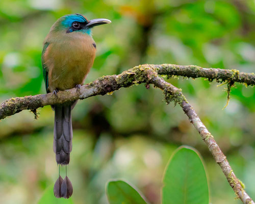 Keel-billed Motmot, Electron carinatum. Very localized, it was the only individual observed during our trip.