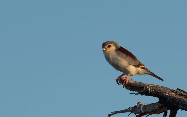 Pygmy Falcon, Polihierax semitorquatus. Awash National park