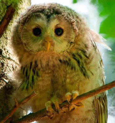 Ural Owl, Strix uralensis