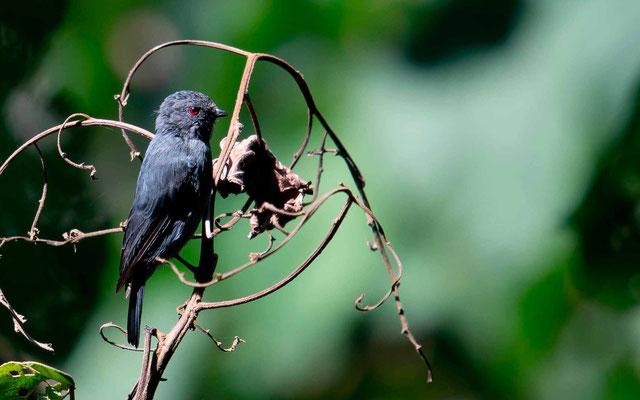 Gobemouche noir du Kivu, Melaenornis ardesiacus