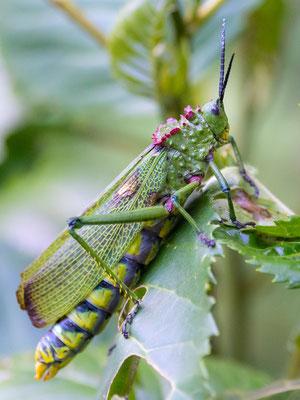 African bush grasshopper, Phymateus viridipes