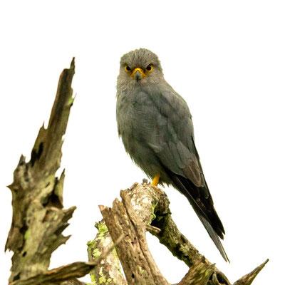 Faucon de Dickinson ,Falco dickinsoni. Une des raretés cochée lors de ce voyage!