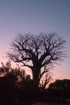 Sunset on a African Baobab