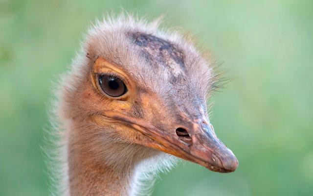 Ostrich portrait, Struthio camelus. Domesticated one!