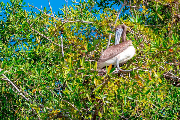Pélican brun, Pelecanus occidentalis, fleuve Tarcoles