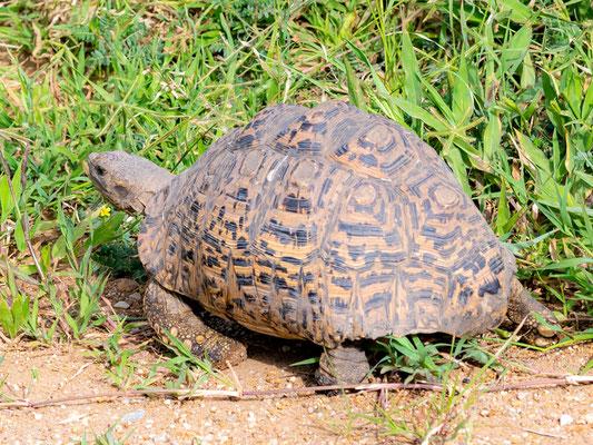 Leopard tortoise, Stigmochelys pardalis
