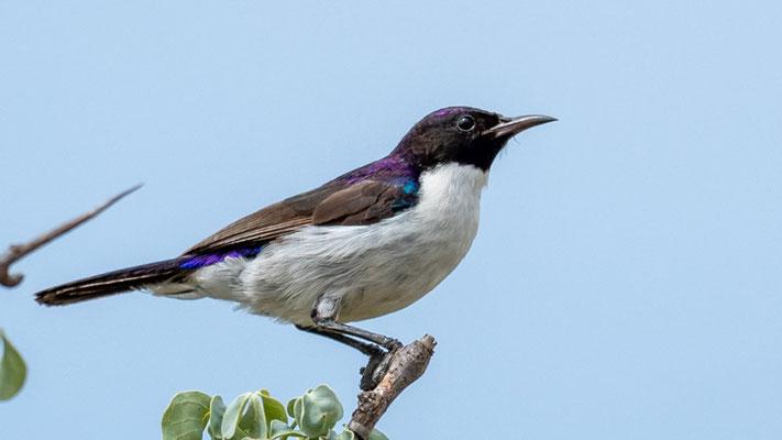 Eastern Violet-backed Sunbird, Anthreptes orientalis