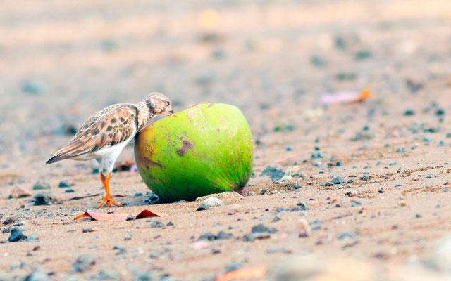 Tournepierre àcollier, Arenaria interpres. Mangrove de Puerto Jimenez.
