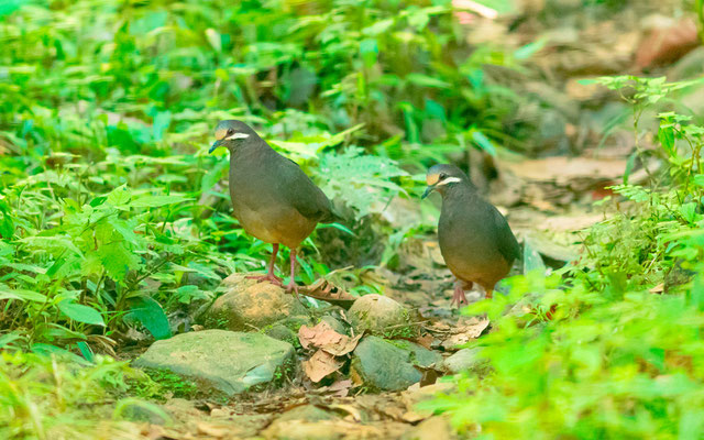 Buff-fronted Quail-Dove, Geotrygon costaricensis. Costa-Rica and Panama endemic