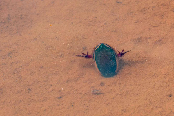 Undefined Diving beetle