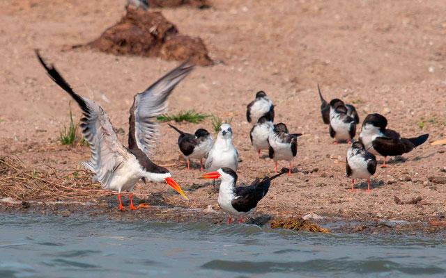 African Skimmer, Rynchops flavirostris and Gull-billed Tern, Sterna nilotica in internuptial plumage