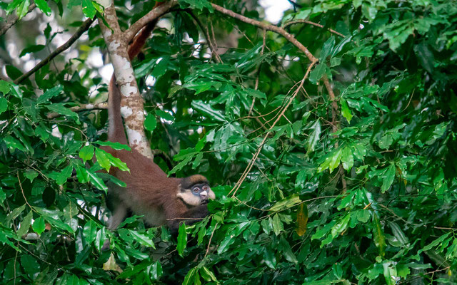 Red-tailed monkey, Cercopithecus ascanius