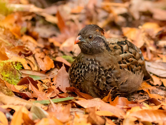 Spotted Wood Quail, Odontophorus guttatus. Trusts her mimetism and keeps to the ground even if we were 2m away!