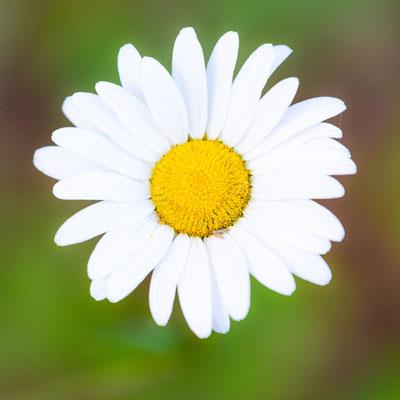 Fleur du genre Leucanthemum