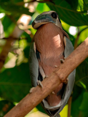 Boat-billed Heron , Cochlearius cochlearius