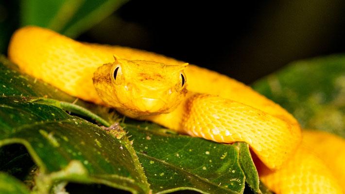 Eyelash viper, Bothriechis schlegelii