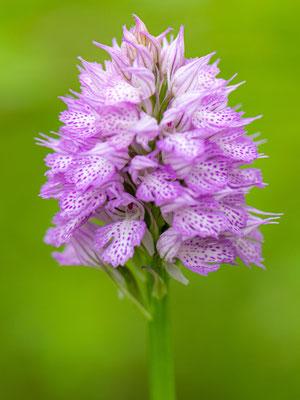 Orchis dentelé, Neotinea tridentata