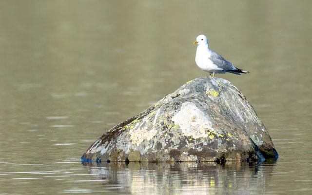 Mew Gull, Larus canus