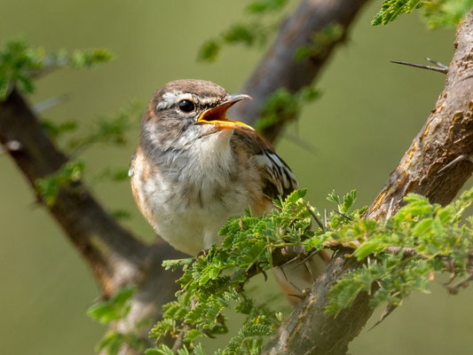 White-browed Scrub Robin, Cercotrichas leucophrys