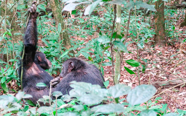 Chimpanzee , Pan troglodytes, grooming