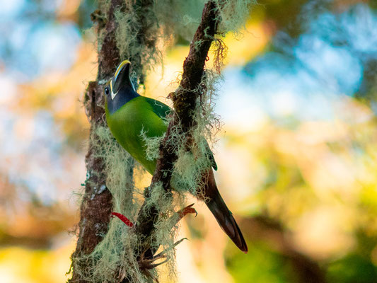 Emerald Toucanet, Aulacorhynchus prasinus