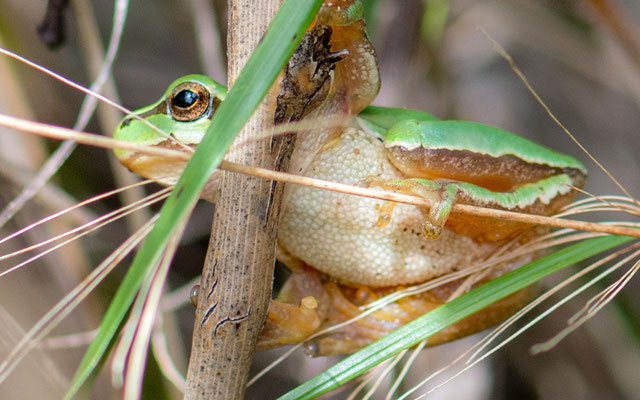 Savigny's treefrog, Hyla savignyi