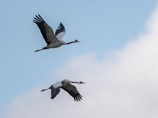 Common Crane, Grus grus. Chelekleka Lake
