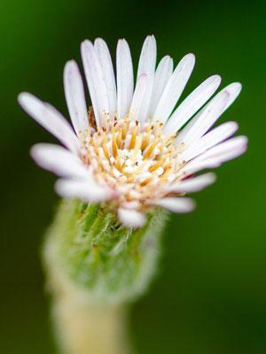 Fleur de la Sous-famille des Asteroideae