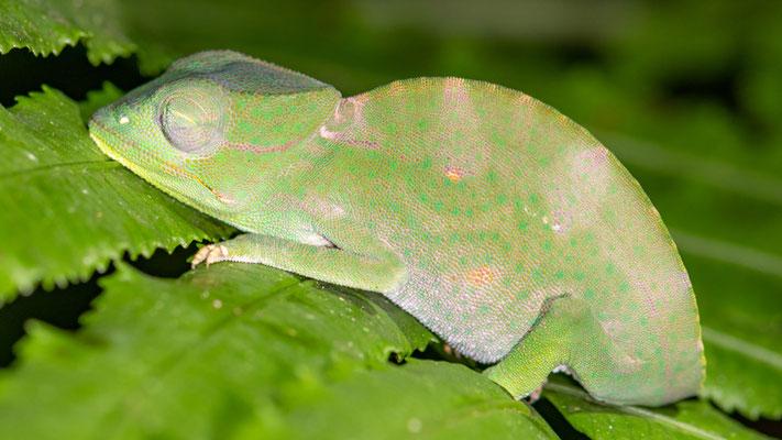 Caméléon des Usambara à trois cornes, Chamaeleo deremensis, femelle