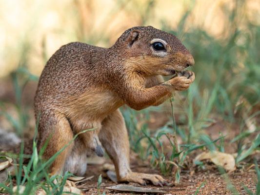 Unstriped ground squirrel, Xerus rutilus