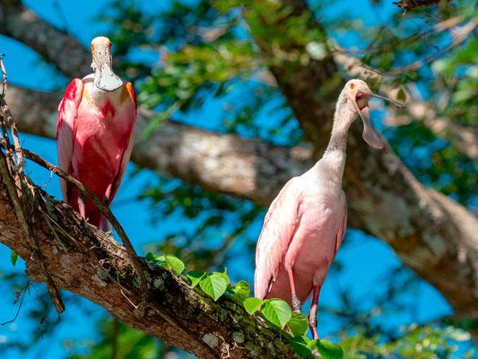 Spatule rosée, Platalea ajaja, fleuve Tarcoles