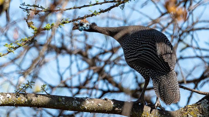 Helmeted Guineafowl perched! Numidia meleagris.  Around the old Simbo Lodge