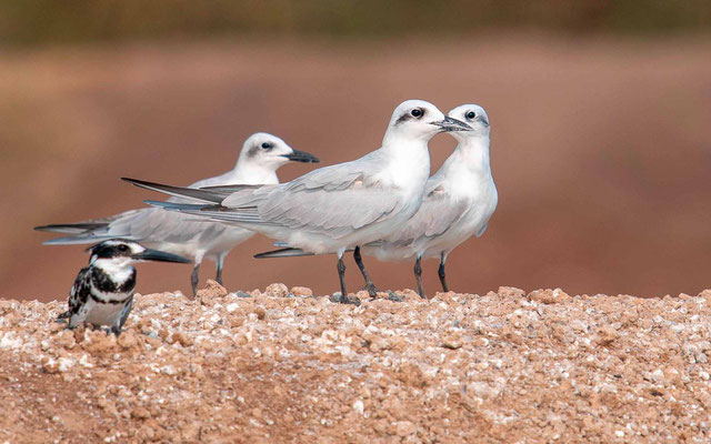 Gull-billed Tern, Sterna nilotica and Pied Kingfisher,  Ceryle rudis