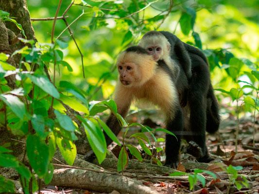 Colombian white-faced capuchin, Cebus capucinus