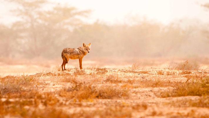 Loup doré (Chacal doré), Canis anthus
