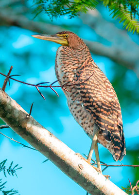 Bare-throated Tiger Heron, Tigrisoma mexicanum juvénile