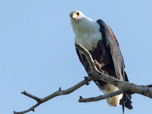 African Fish Eagle, Haliaetus vocifer