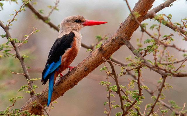 Grey-headed Kingfisher , Halcyon leucocephala